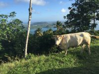 La vache du Morne Gommier